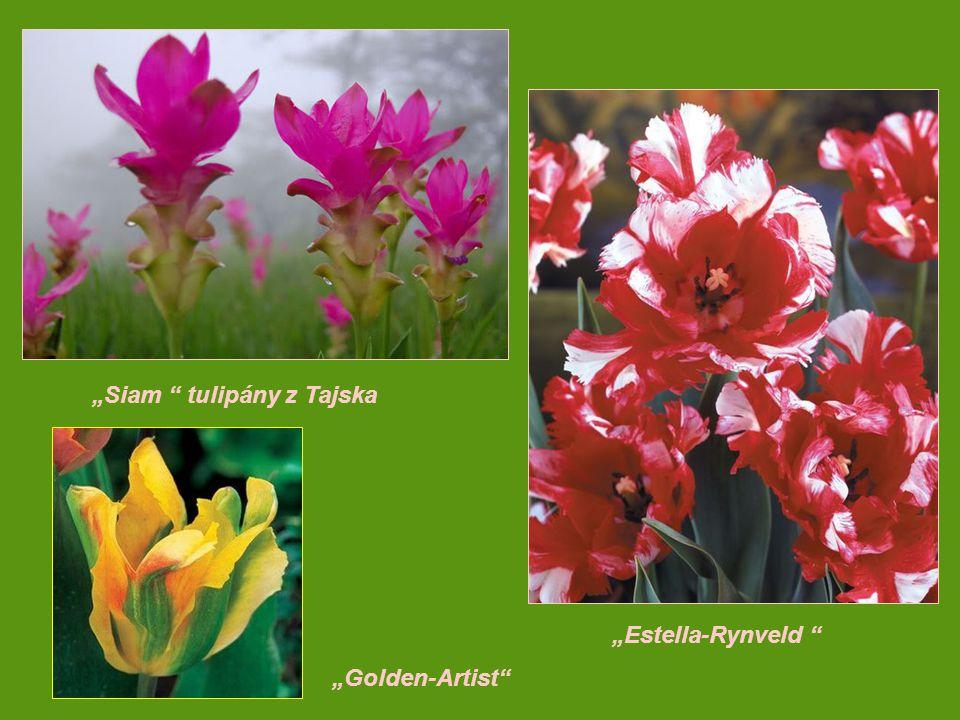 """Siam tulipány z Tajska ""Estella-Rynveld ""Golden-Artist"