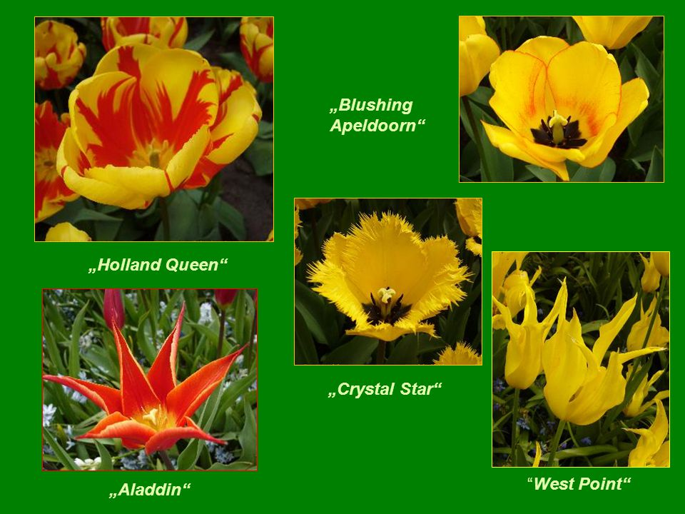 """Holland Queen ""Blushing Apeldoorn ""Aladdin ""Crystal Star West Point"