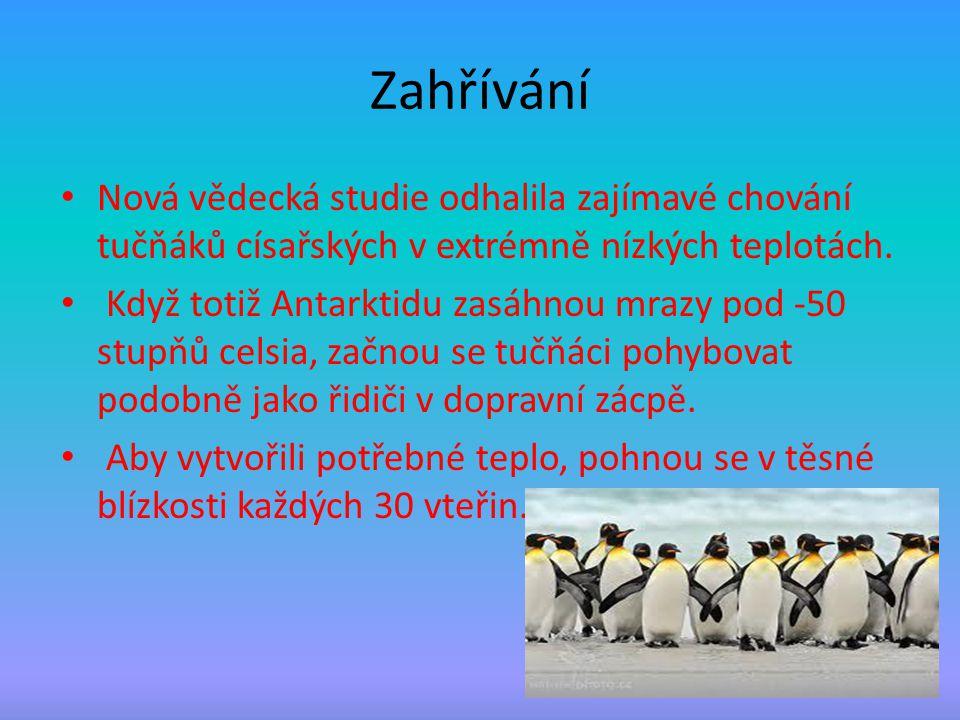 Zahřívání Nová vědecká studie odhalila zajímavé chování tučňáků císařských v extrémně nízkých teplotách. Když totiž Antarktidu zasáhnou mrazy pod -50