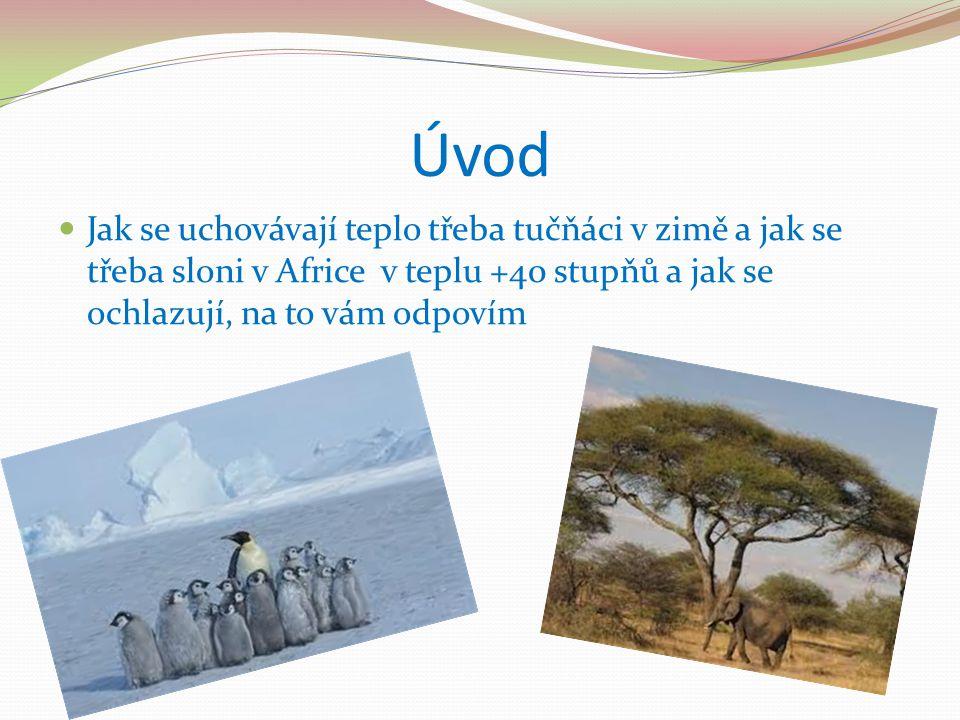 Úvod Jak se uchovávají teplo třeba tučňáci v zimě a jak se třeba sloni v Africe v teplu +40 stupňů a jak se ochlazují, na to vám odpovím