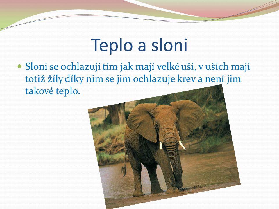 Teplo a sloni Sloni se ochlazují tím jak mají velké uši, v uších mají totiž žíly díky nim se jim ochlazuje krev a není jim takové teplo.