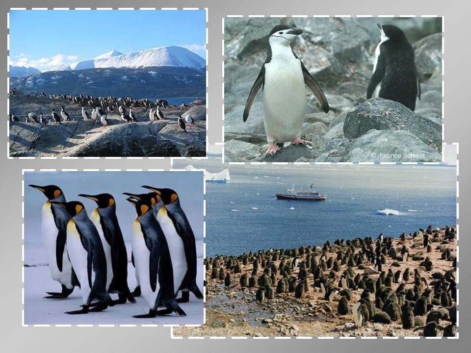 Tučňák patagonský je vysoký 85 až 95 cm a může vážit až 20 kg.