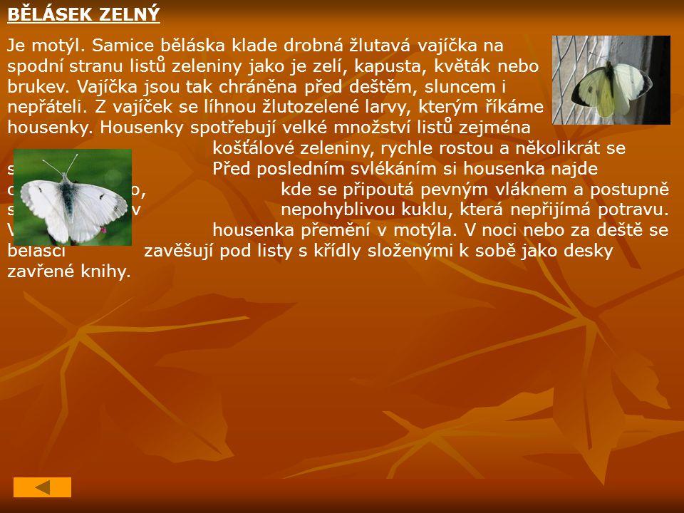 BĚLÁSEK ZELNÝ Je motýl. Samice běláska klade drobná žlutavá vajíčka na spodní stranu listů zeleniny jako je zelí, kapusta, květák nebo brukev. Vajíčka
