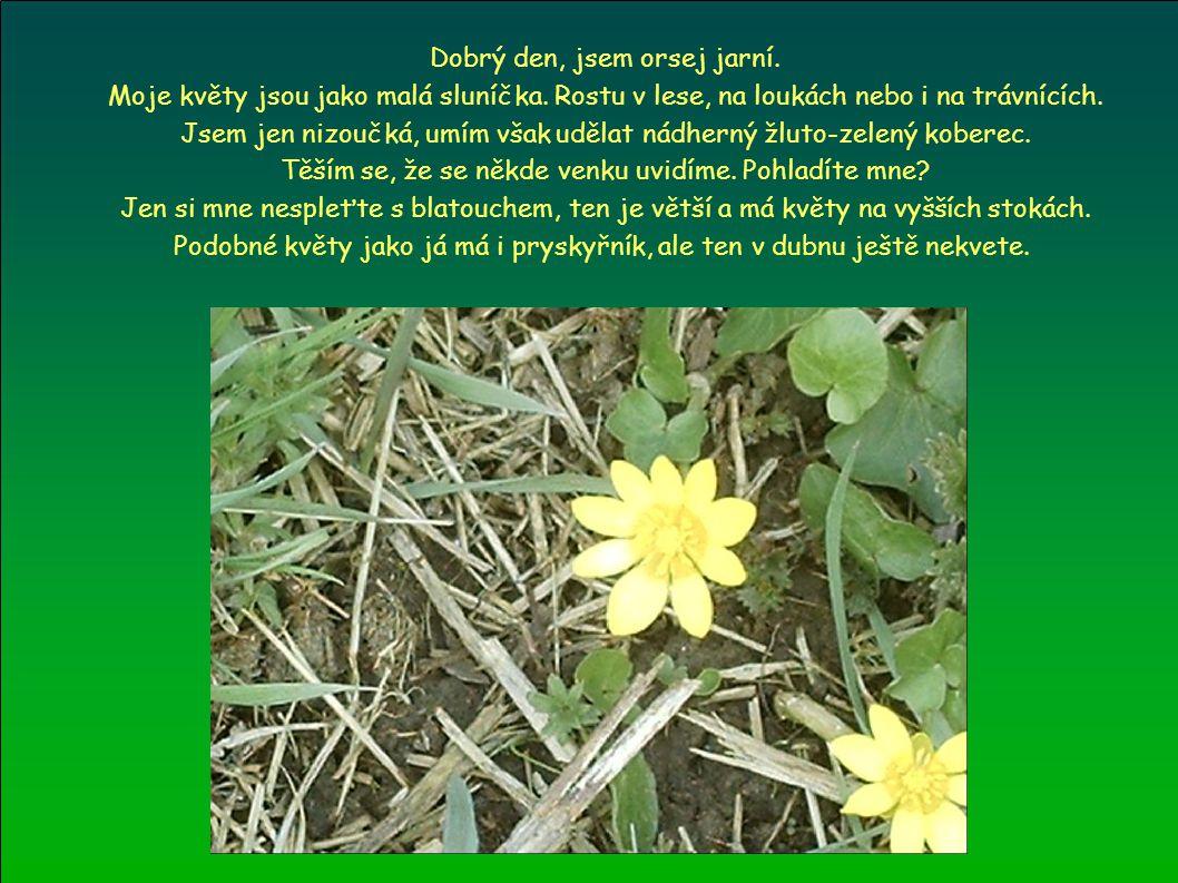 Dobrý den, jsem orsej jarní. Moje květy jsou jako malá sluníčka. Rostu v lese, na loukách nebo i na trávnících. Jsem jen nizoučká, umím však udělat ná