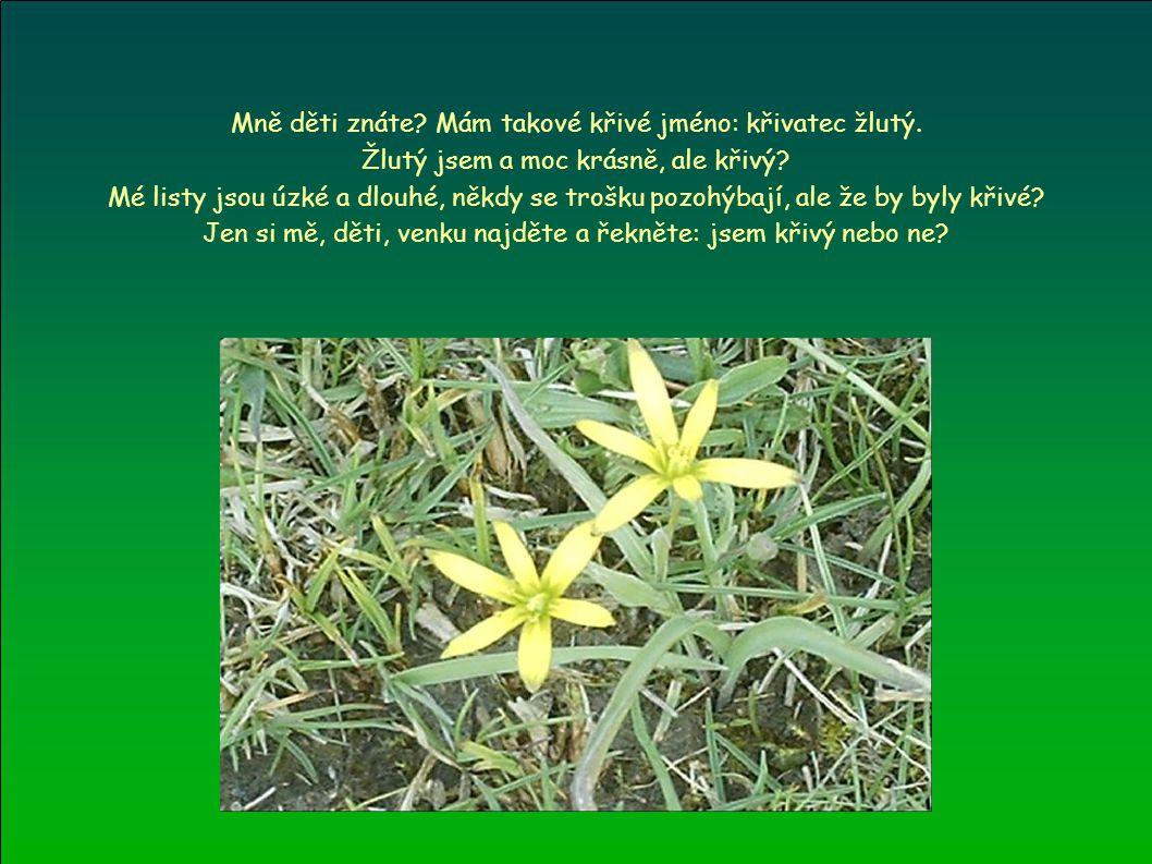 Mně děti znáte? Mám takové křivé jméno: křivatec žlutý. Žlutý jsem a moc krásně, ale křivý? Mé listy jsou úzké a dlouhé, někdy se trošku pozohýbají, a
