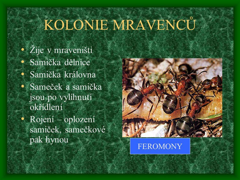 KOLONIE MRAVENCŮ Žije v mraveništi Samička dělnice Samička královna Sameček a samička jsou po vylíhnutí okřídlení Rojení – oplození samiček, samečkové pak hynou FEROMONY