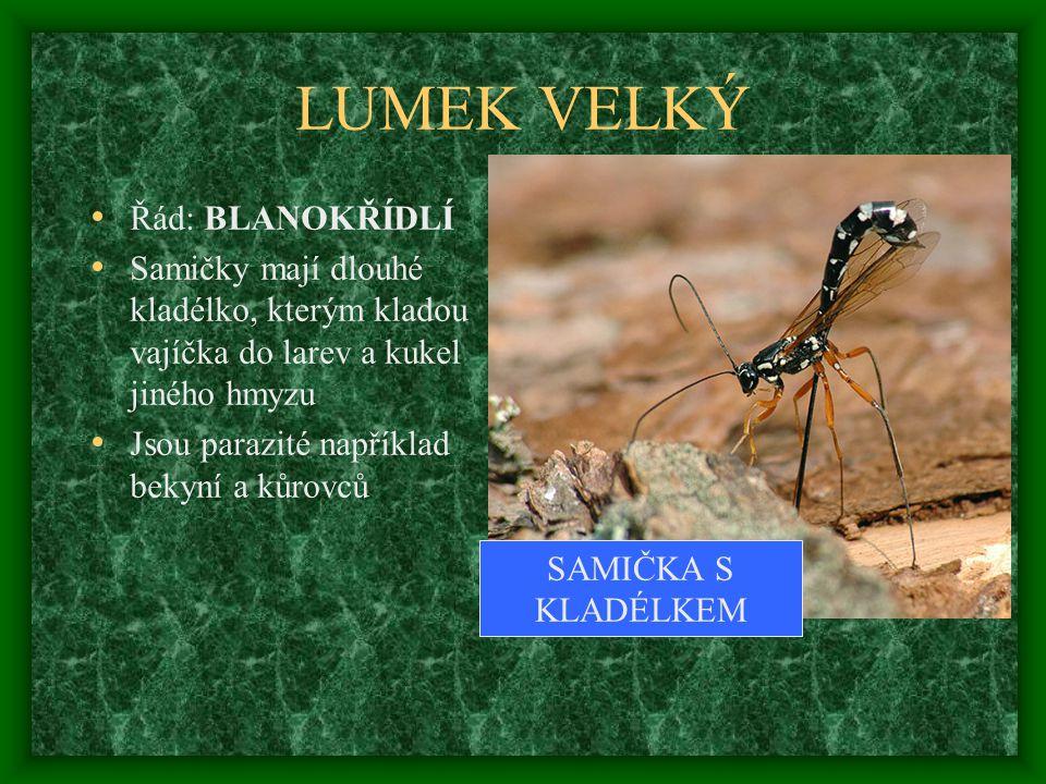LUMEK VELKÝ Řád: BLANOKŘÍDLÍ Samičky mají dlouhé kladélko, kterým kladou vajíčka do larev a kukel jiného hmyzu Jsou parazité například bekyní a kůrovců SAMIČKA S KLADÉLKEM