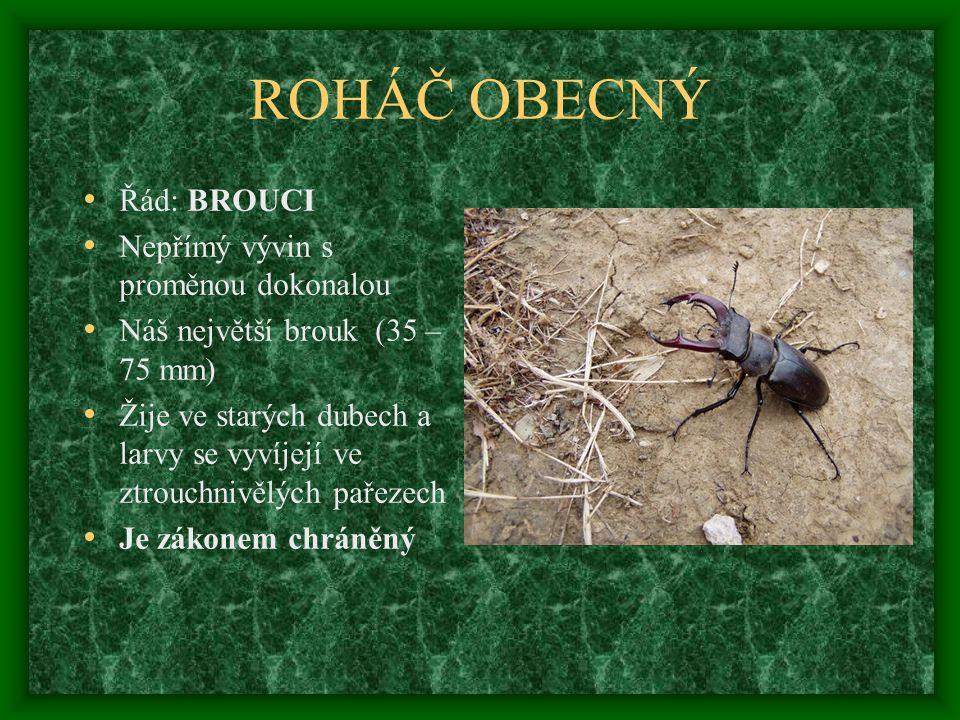 ROHÁČ OBECNÝ Řád: BROUCI Nepřímý vývin s proměnou dokonalou Náš největší brouk (35 – 75 mm) Žije ve starých dubech a larvy se vyvíjejí ve ztrouchnivělých pařezech Je zákonem chráněný