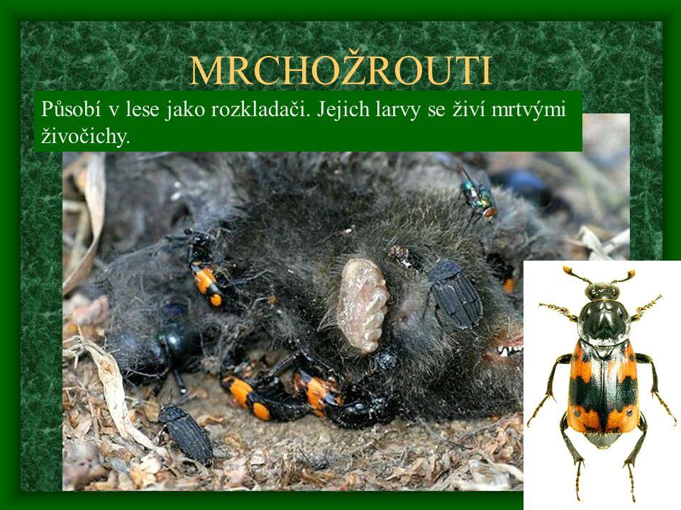 MRCHOŽROUTI Působí v lese jako rozkladači. Jejich larvy se živí mrtvými živočichy.