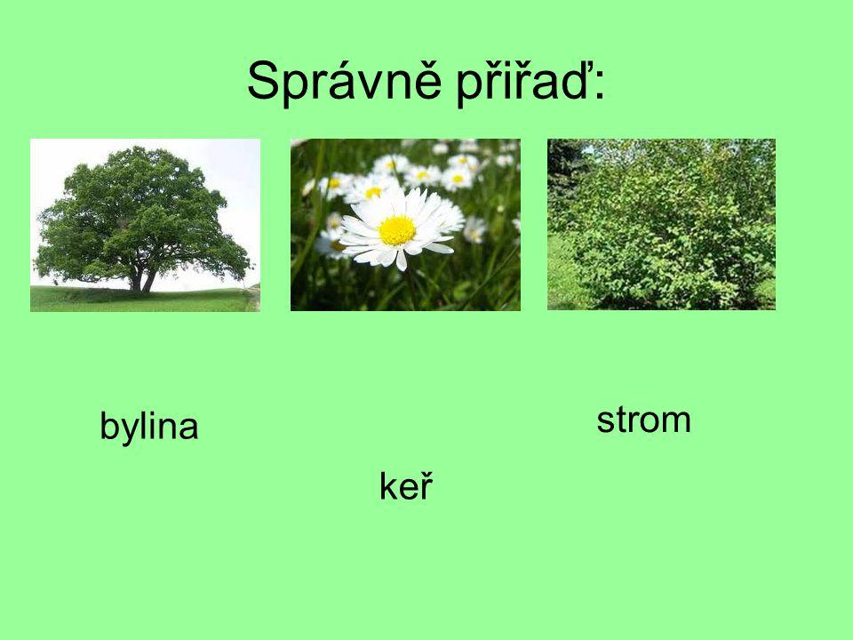 Správně přiřaď: bylina keř strom