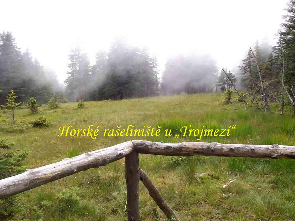 """Kosodřevina na """"Velkém Máji (1385 m) """"Vysoká hole (1464 m) - v zajetí mraku Horské drahokamy – """"Vysoká hole """"Vysoká hole - památka na II.svět."""