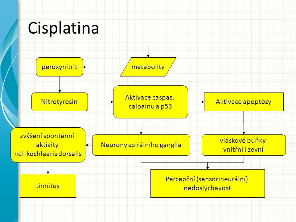 Cisplatina peroxynitrit Nitrotyrosin Aktivace caspas, calpainu a p53 metabolity Aktivace apoptozy vláskové buňky vnitřní i zevní Neurony spirálního ga