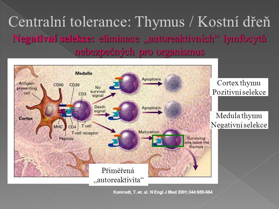Kamradt, T. et. al. N Engl J Med 2001;344:655-664 Centralní tolerance: Thymus / Kostní dřeň Medula thymu Negativní selekce Cortex thymu Pozitivní sele