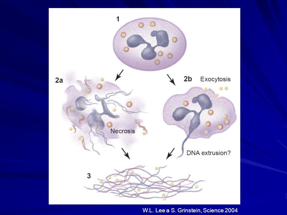 W.L. Lee a S. Grinstein, Science 2004