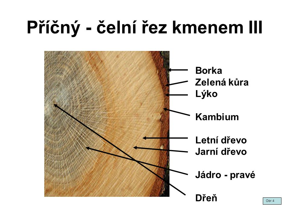 Příčný - čelní řez kmenem III Obr.4 Borka Zelená kůra Lýko Kambium Letní dřevo Jarní dřevo Jádro - pravé Dřeň