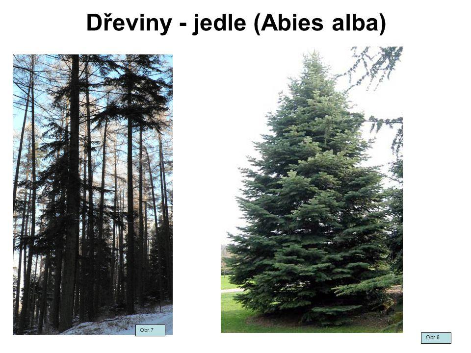 Dřeviny - jedle (Abies alba) Obr.7 Obr.8