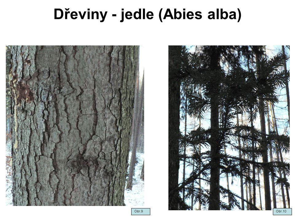 Dřeviny - jedle (Abies alba) Obr.9Obr.10