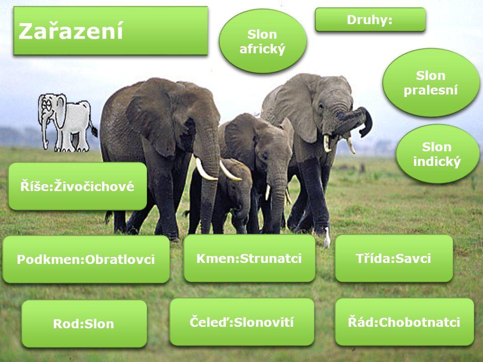 Slon třetím nejnebezpečnějším zvířetem Na třetím místě se nachází sloni.