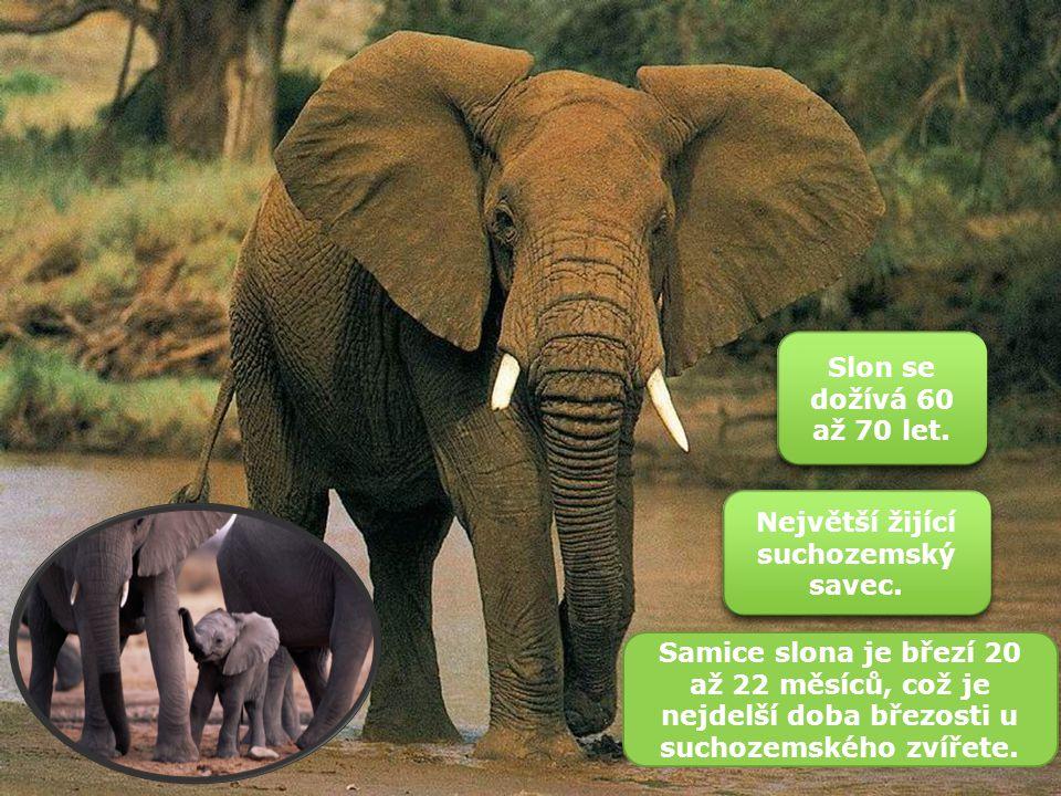 Zařazení Říše:Živočichové Kmen:Strunatci Podkmen:Obratlovci Třída:Savci Řád:Chobotnatci Čeleď:Slonovití Rod:Slon Slon africký Slon pralesní Slon indický Druhy: