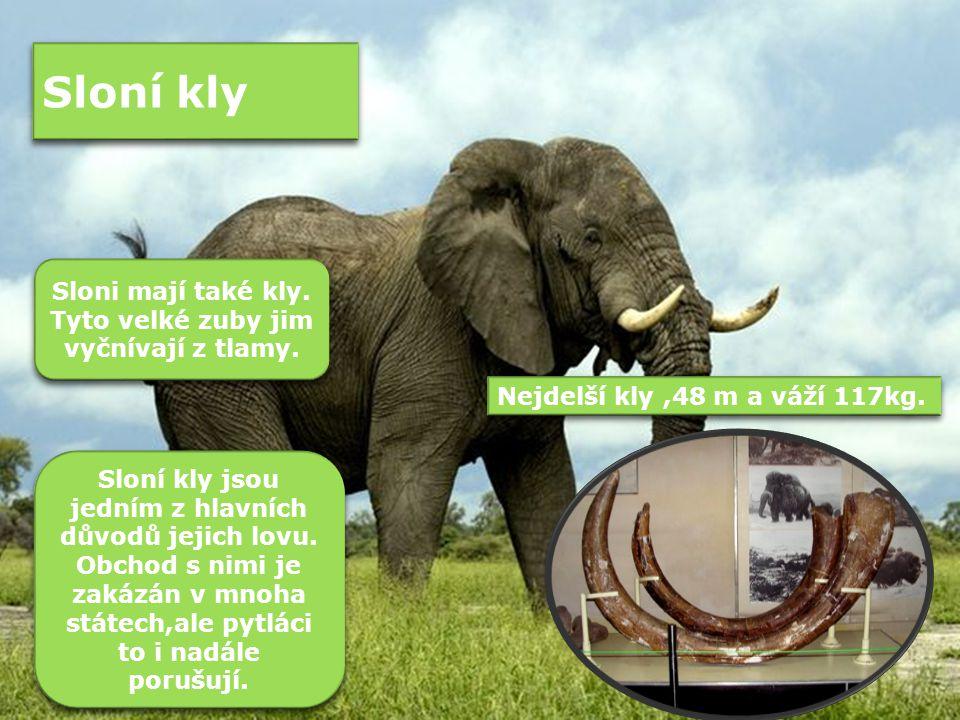 Sloní kly Sloni mají také kly.Tyto velké zuby jim vyčnívají z tlamy.