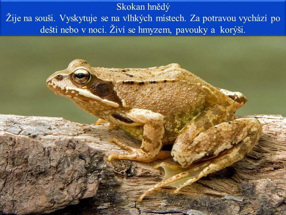 Skokan hnědý Žije na souši.Vyskytuje se na vlhkých místech.