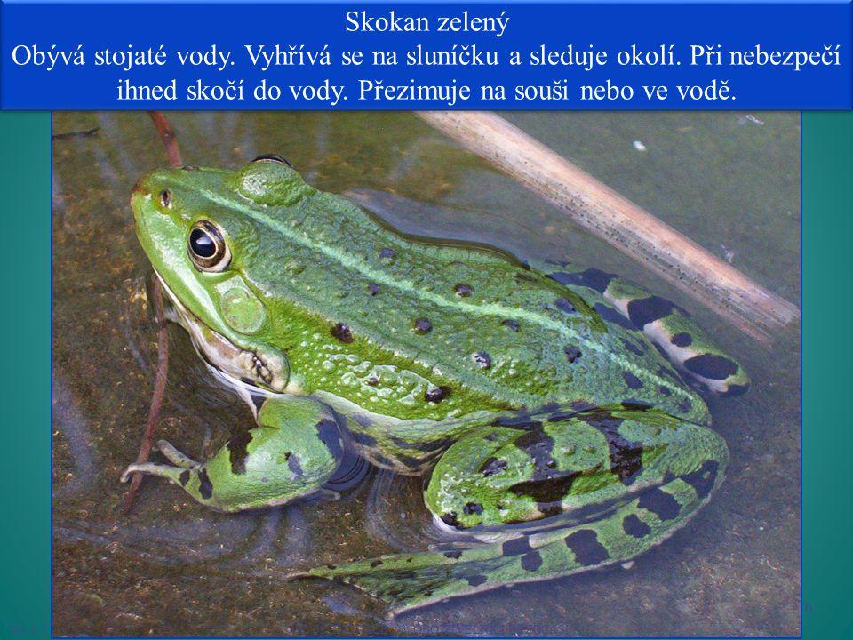 Skokan zelený Obývá stojaté vody.Vyhřívá se na sluníčku a sleduje okolí.