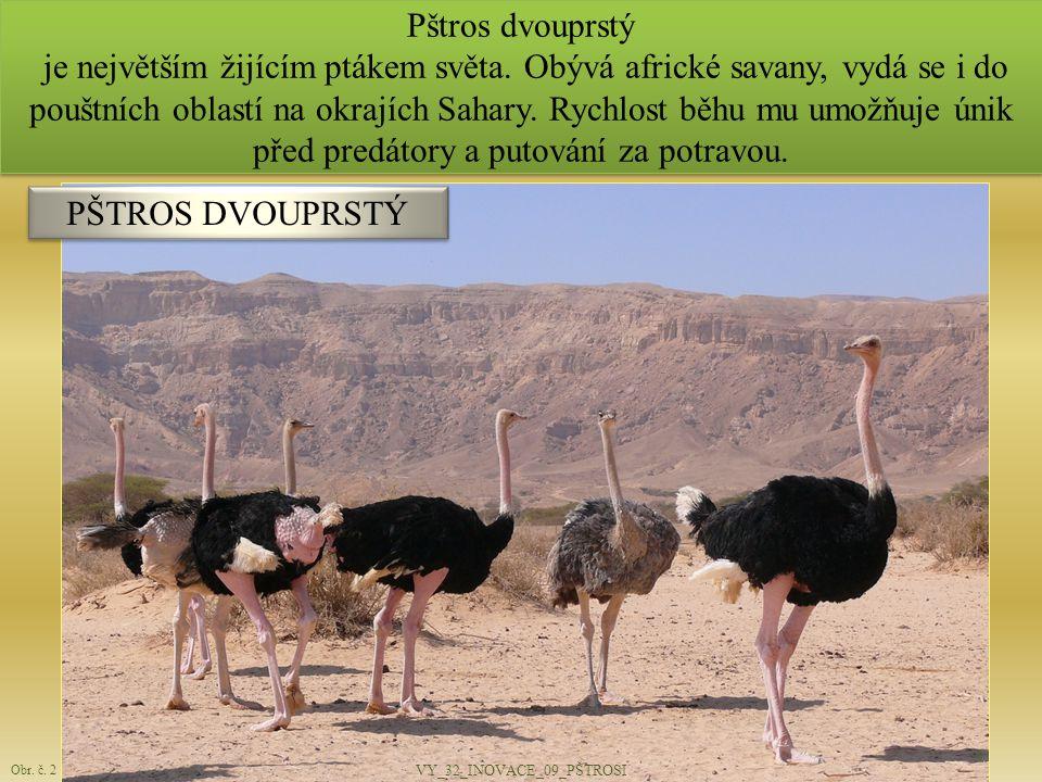 Pštros dvouprstý je největším žijícím ptákem světa. Obývá africké savany, vydá se i do pouštních oblastí na okrajích Sahary. Rychlost běhu mu umožňuje