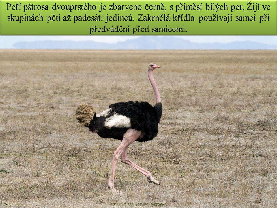 Peří pštrosa dvouprstého je zbarveno černě, s příměsí bílých per. Žijí ve skupinách pěti až padesáti jedinců. Zakrnělá křídla používají samci při před