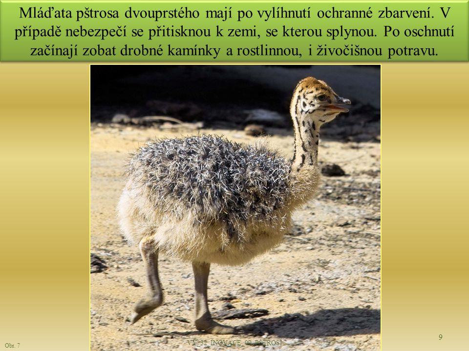 Mláďata pštrosa dvouprstého mají po vylíhnutí ochranné zbarvení. V případě nebezpečí se přitisknou k zemi, se kterou splynou. Po oschnutí začínají zob