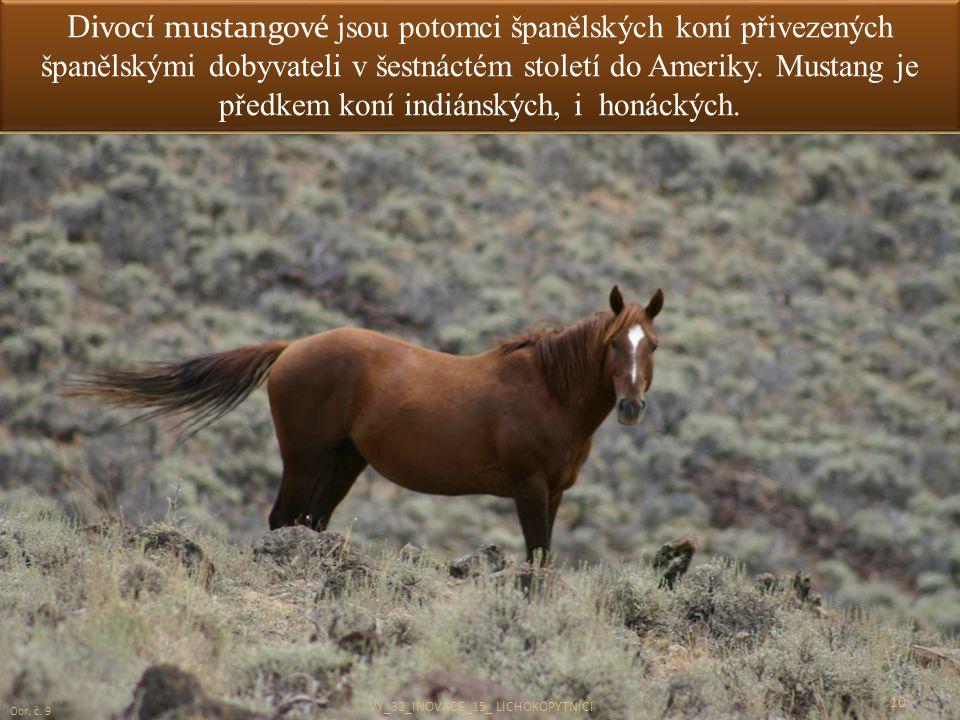 Divocí mustangové jsou potomci španělských koní přivezených španělskými dobyvateli v šestnáctém století do Ameriky. Mustang je předkem koní indiánskýc