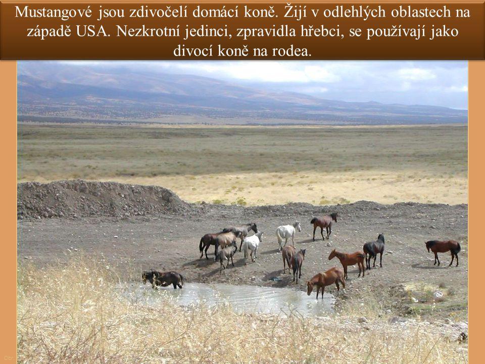Mustangové jsou zdivočelí domácí koně. Žijí v odlehlých oblastech na západě USA. Nezkrotní jedinci, zpravidla hřebci, se používají jako divocí koně na