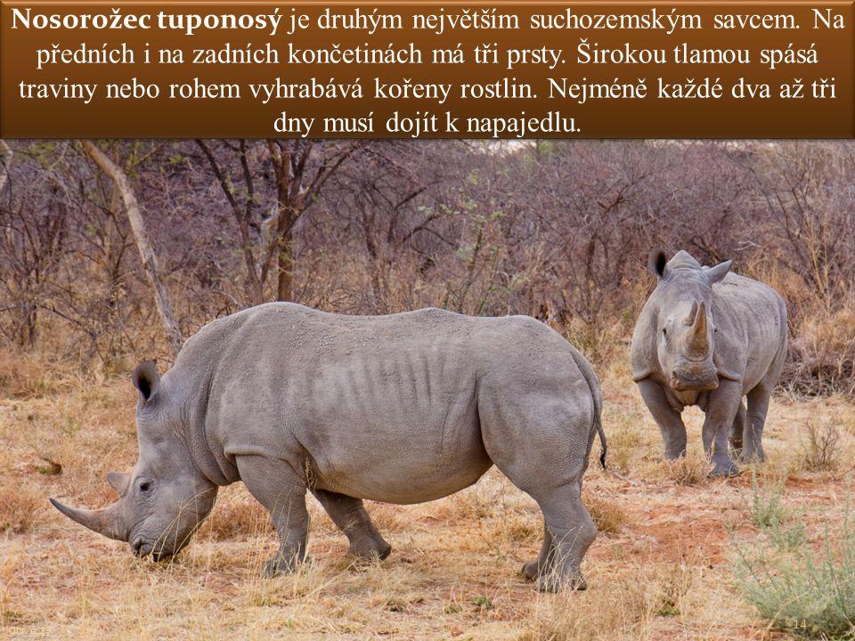 Nosorožec tuponosý je druhým největším suchozemským savcem. Na předních i na zadních končetinách má tři prsty. Širokou tlamou spásá traviny nebo rohem