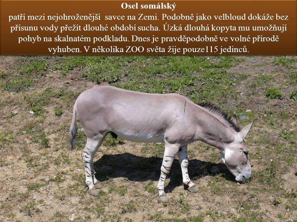 Osel somálský patří mezi nejohroženější savce na Zemi. Podobně jako velbloud dokáže bez přísunu vody přežít dlouhé období sucha. Úzká dlouhá kopyta mu