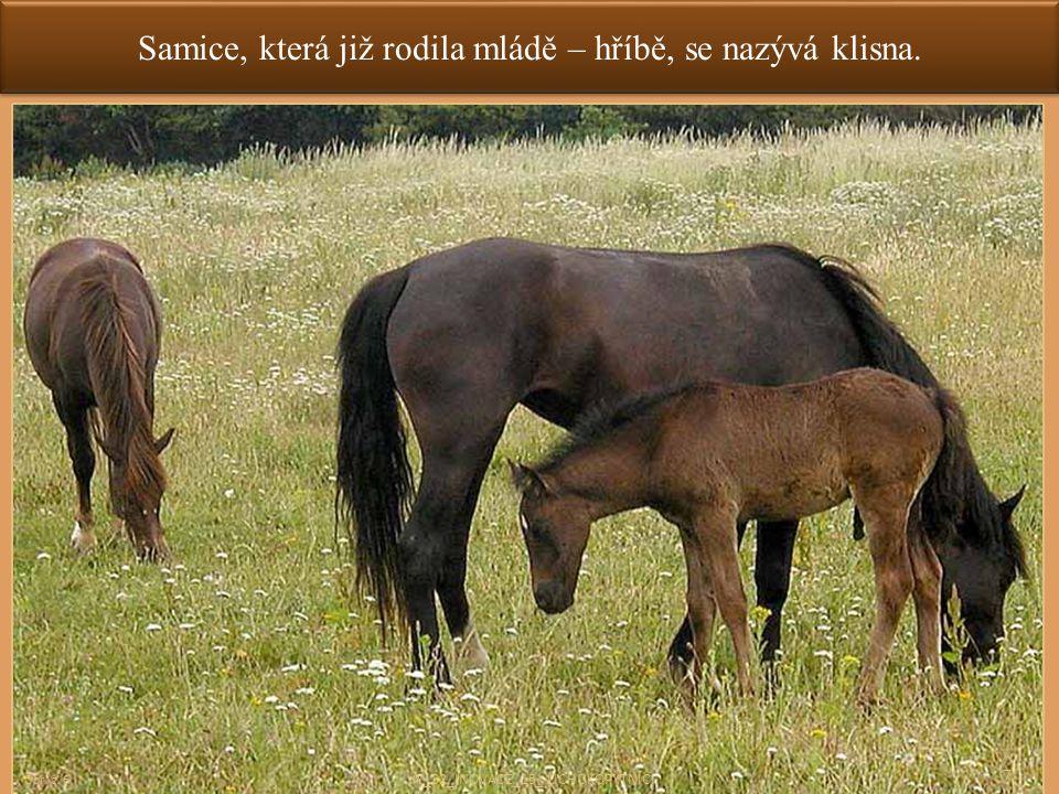 Samice, která již rodila mládě – hříbě, se nazývá klisna. 7 Obr. č. 6 VY_32_INOVACE_15_ LICHOKOPYTNÍCI