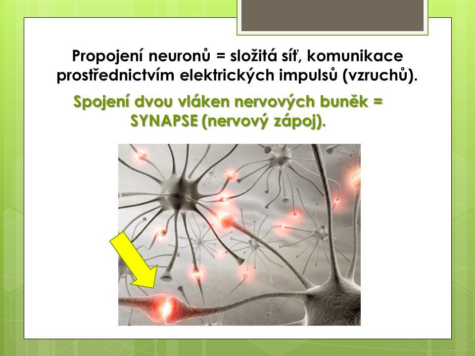 Propojení neuronů = složitá síť, komunikace prostřednictvím elektrických impulsů (vzruchů). Spojení dvou vláken nervových buněk = SYNAPSE (nervový záp