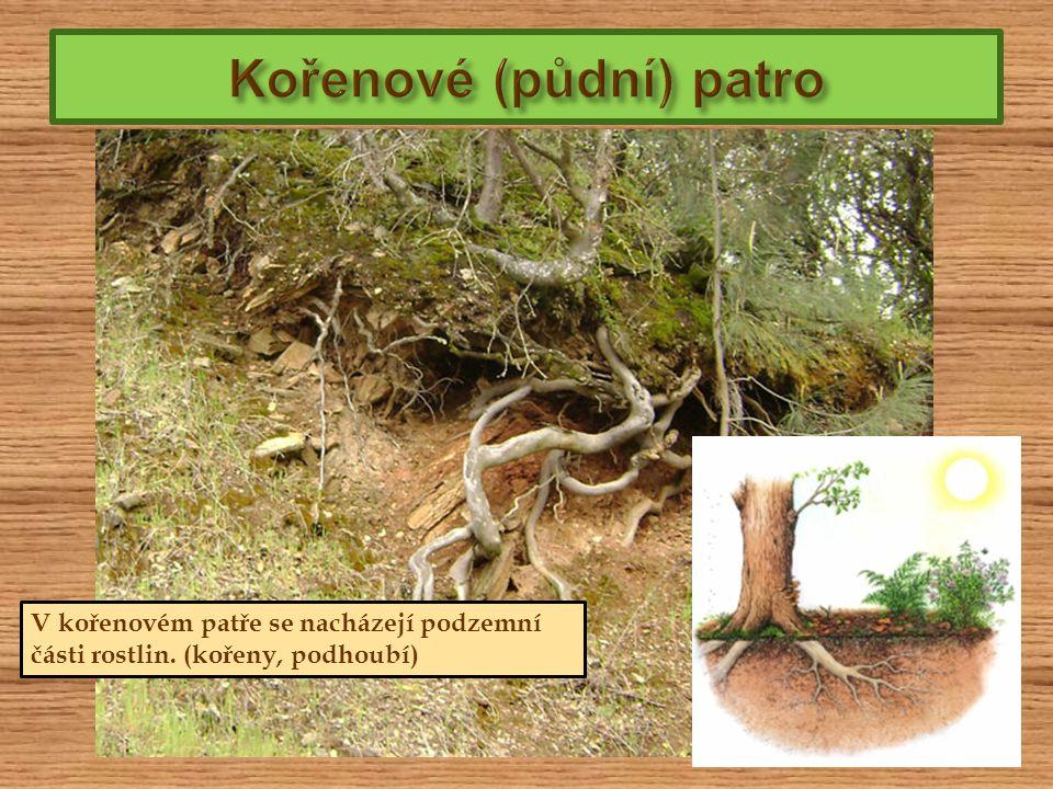 V kořenovém patře se nacházejí podzemní části rostlin. (kořeny, podhoubí)