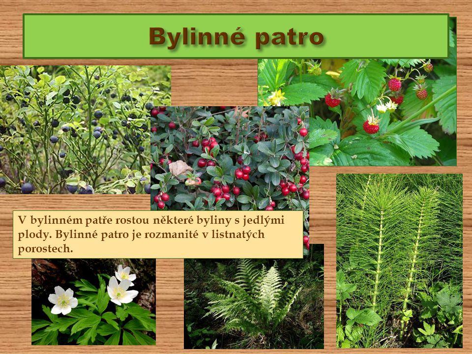 V bylinném patře rostou některé byliny s jedlými plody. Bylinné patro je rozmanité v listnatých porostech.