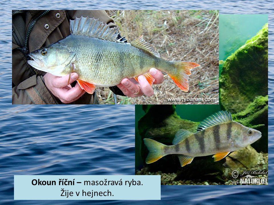 Okoun říční – masožravá ryba. Žije v hejnech.