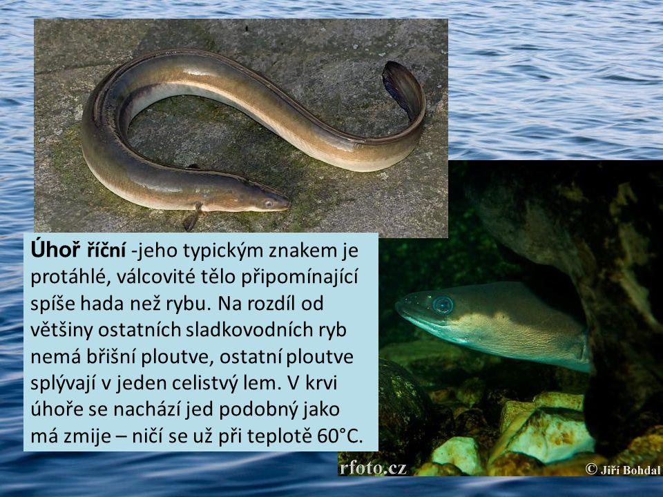 Úhoř říční -jeho typickým znakem je protáhlé, válcovité tělo připomínající spíše hada než rybu. Na rozdíl od většiny ostatních sladkovodních ryb nemá