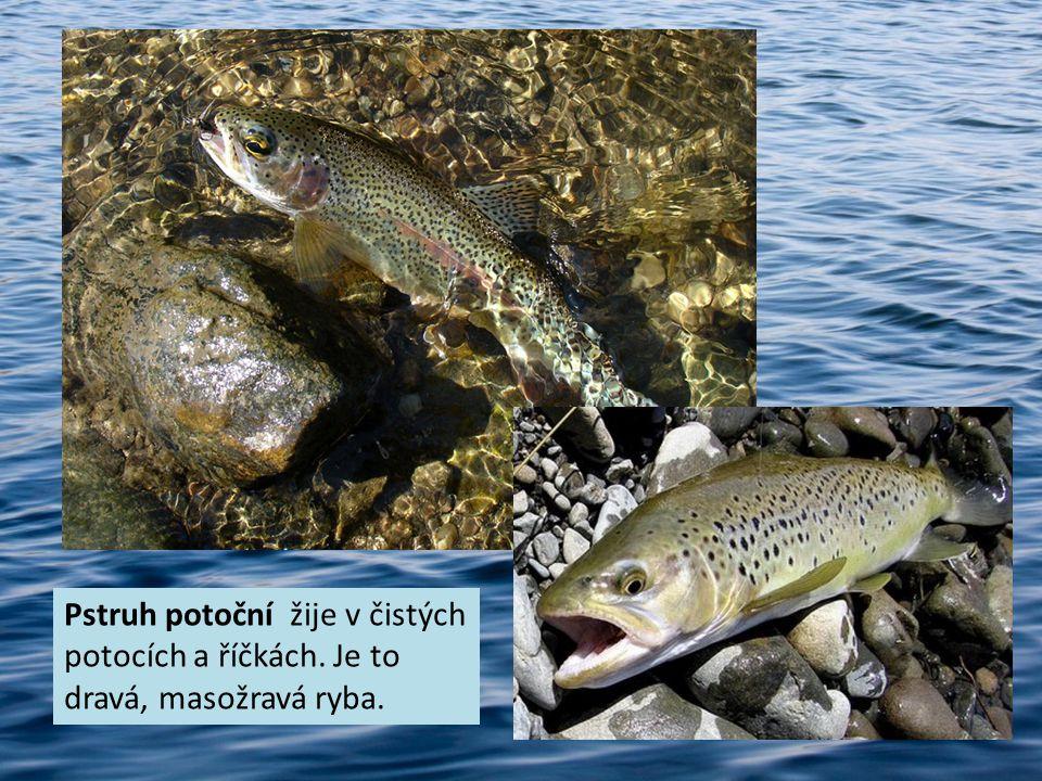 Pstruh potoční žije v čistých potocích a říčkách. Je to dravá, masožravá ryba.