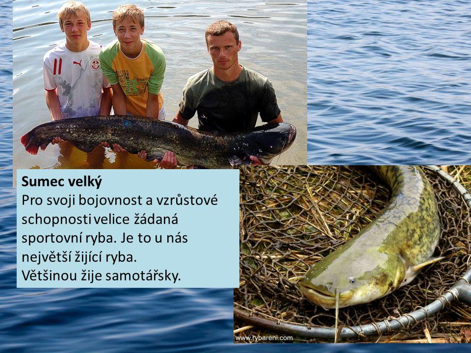 Sumec velký Pro svoji bojovnost a vzrůstové schopnosti velice žádaná sportovní ryba. Je to u nás největší žijící ryba. Většinou žije samotářsky.