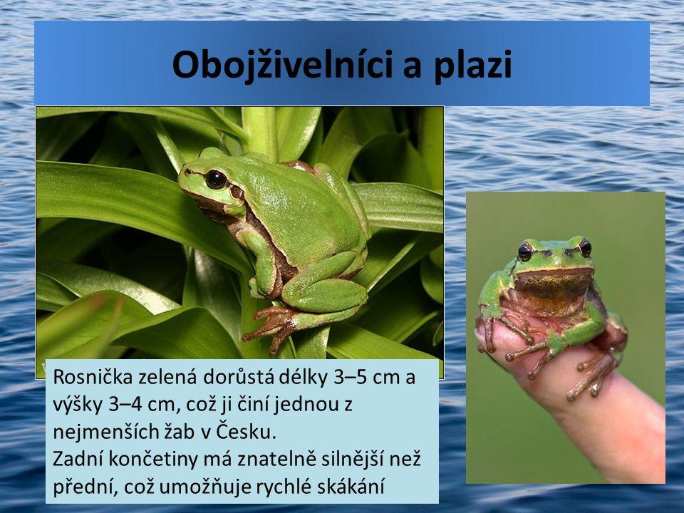 Obojživelníci a plazi Rosnička zelená dorůstá délky 3–5 cm a výšky 3–4 cm, což ji činí jednou z nejmenších žab v Česku. Zadní končetiny má znatelně si