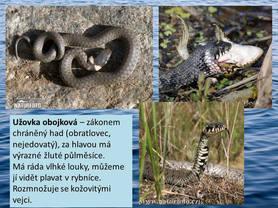 Užovka obojková – zákonem chráněný had (obratlovec, nejedovatý), za hlavou má výrazné žluté půlměsíce. Má ráda vlhké louky, můžeme jí vidět plavat v r