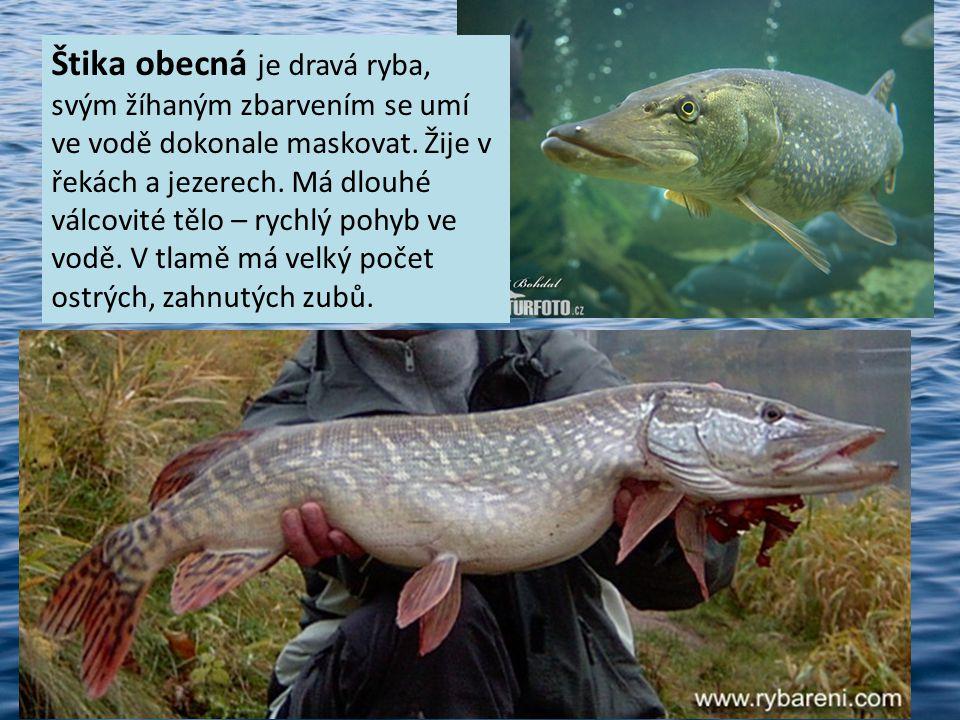 Štika obecná je dravá ryba, svým žíhaným zbarvením se umí ve vodě dokonale maskovat. Žije v řekách a jezerech. Má dlouhé válcovité tělo – rychlý pohyb