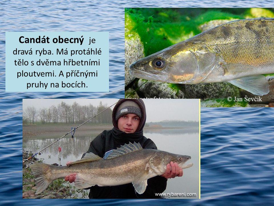 Candát obecný je dravá ryba. Má protáhlé tělo s dvěma hřbetními ploutvemi. A příčnými pruhy na bocích.