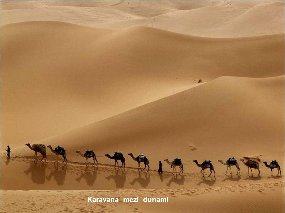 Dromadaire Camelus dromedarius - velbloud jednohrbý