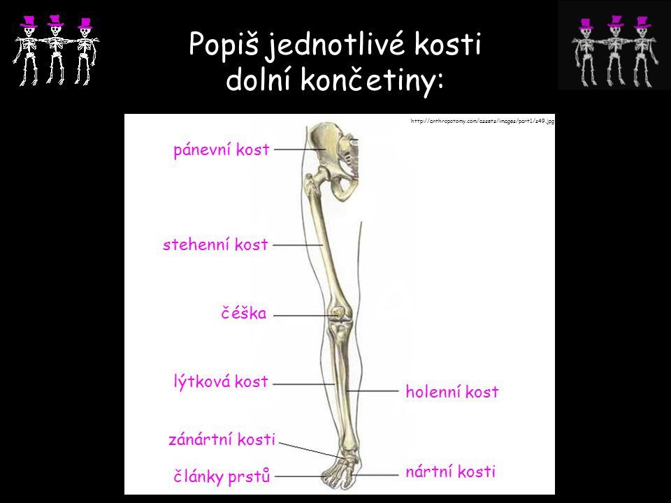 Popiš jednotlivé kosti dolní končetiny: pánevní kost stehenní kost čéška holenní kost lýtková kost články prstů nártní kosti zánártní kosti http://ant