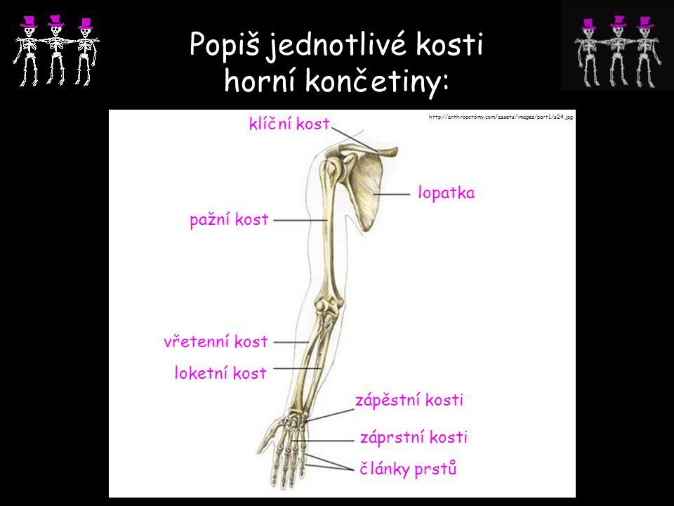 Popiš jednotlivé kosti horní končetiny: http://anthropotomy.com/assets/images/part1/s24.jpg lopatka klíční kost pažní kost loketní kost vřetenní kost