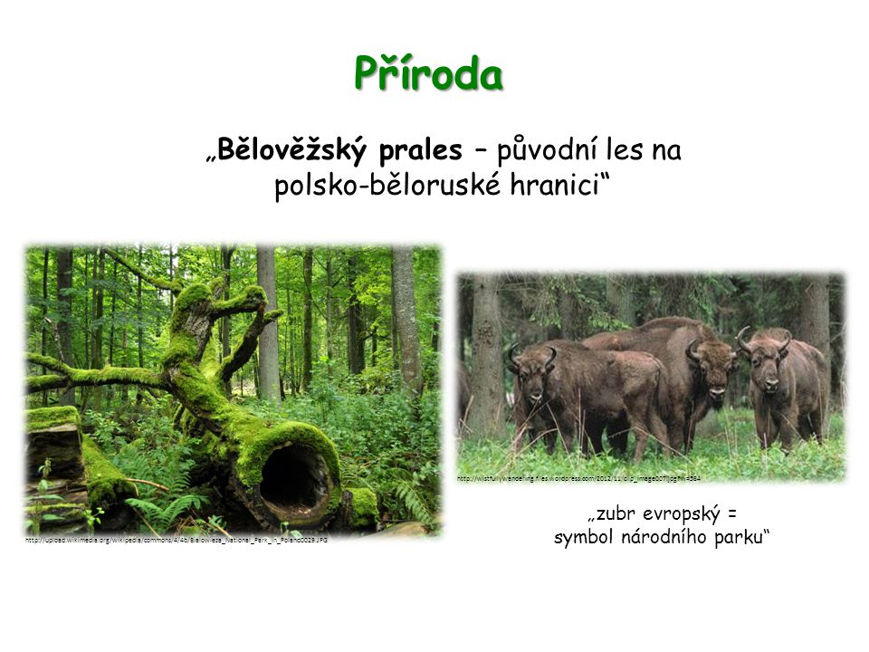 "Příroda ""Bělověžský prales – původní les na polsko-běloruské hranici ""zubr evropský = symbol národního parku http://upload.wikimedia.org/wikipedia/commons/4/4b/Bialowieza_National_Park_in_Poland0029.JPG http://wistfullywandering.files.wordpress.com/2012/11/clip_image007.jpg?w=584"