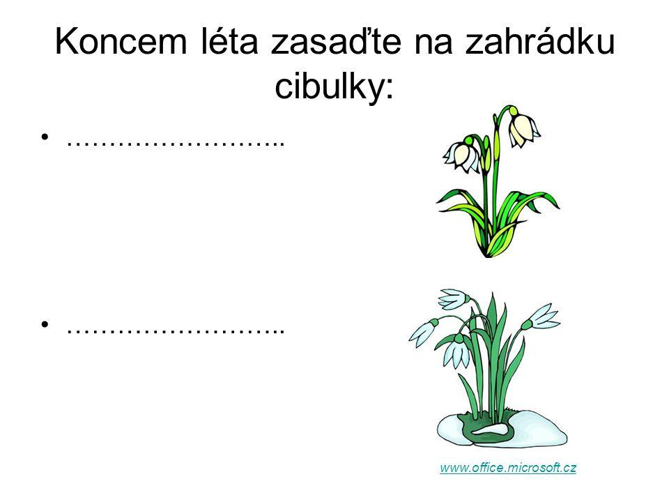 Koncem léta zasaďte na zahrádku cibulky: …………………….. www.office.microsoft.cz